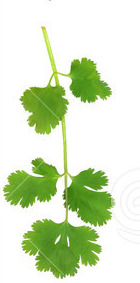 parsley-leaf